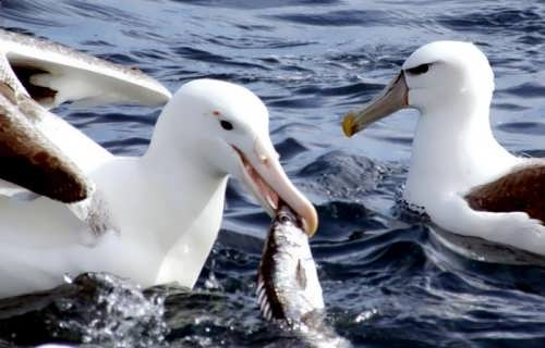 Albatross eats Barracuda