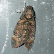 Amazing Death's-head hawkmoth
