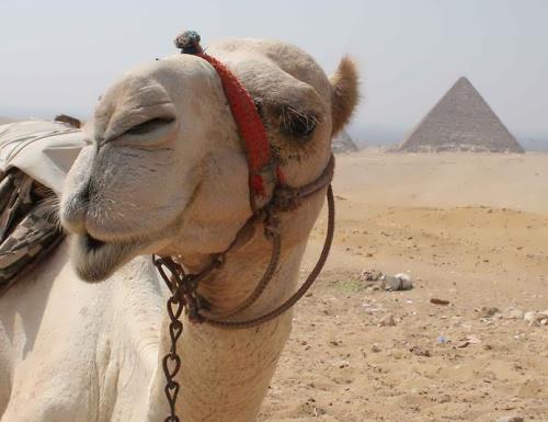 Amazing camel