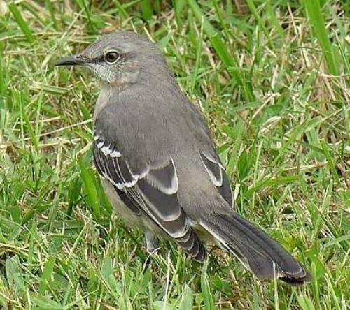 Amazing mockingbird