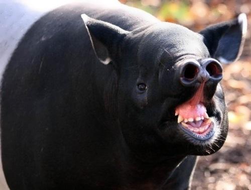 Amazing tapir