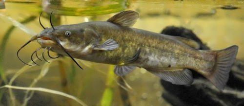 American dwarf catfish
