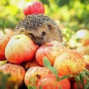 Apples and hedgehog