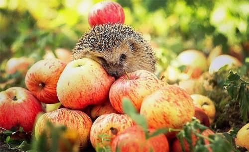 Apples and hedgehog