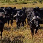 Attractive buffalo