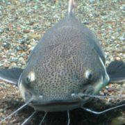 Attractive catfish