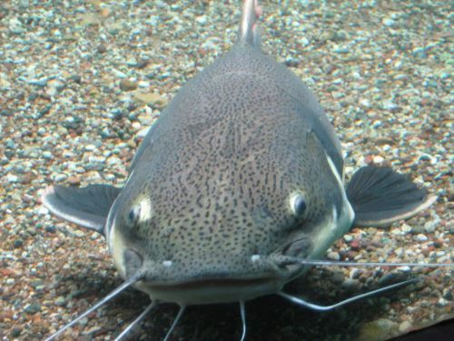 Attractive catfish
