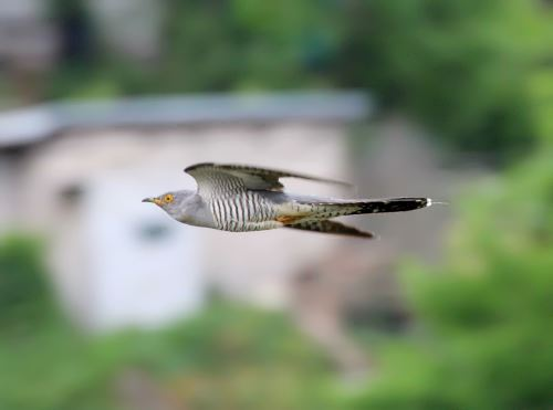 Attractive cuckoo