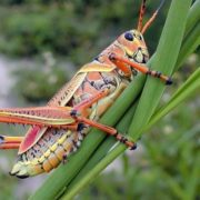 Attractive grasshopper
