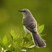 Attractive mockingbird
