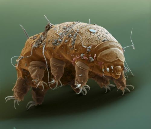 Attractive water bear
