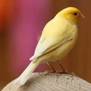 Beautiful canary