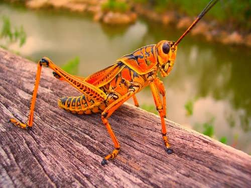 Beautiful grasshopper