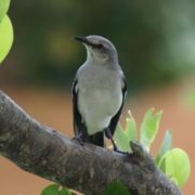 Beautiful mockingbird