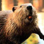 Wonderful beaver