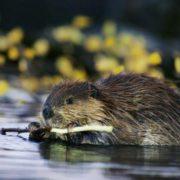 Lovely beaver