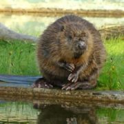 Magnificent beaver