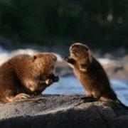 Stunning beavers