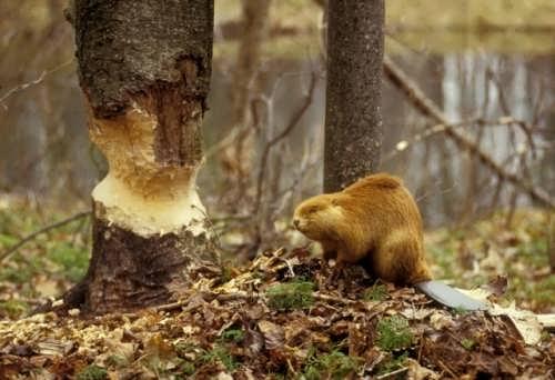 Gorgeous beaver