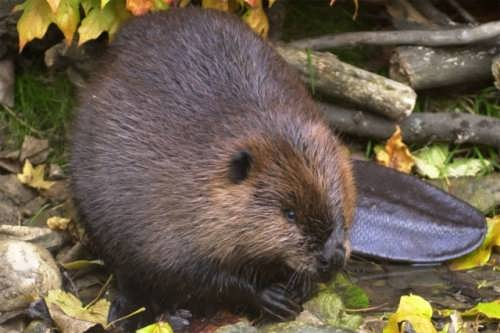 Charming beaver