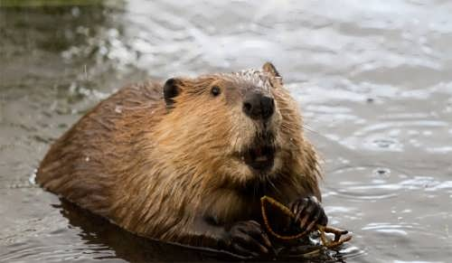 Pretty beaver