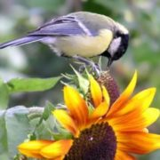 Bird is eating sunflower seeds