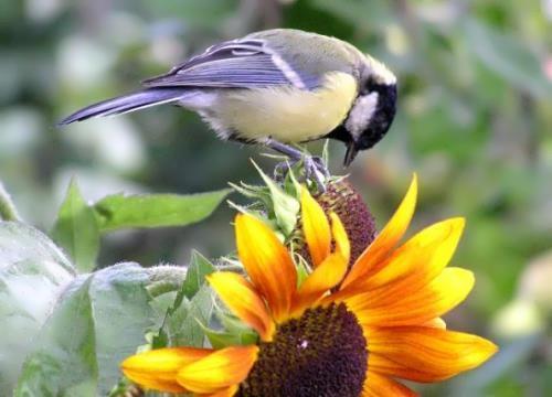 Bird is eating sunflower seeds