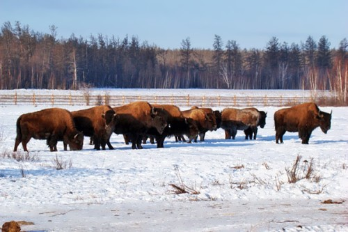 Bisons in Tympynay