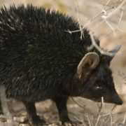 Black hedgehog