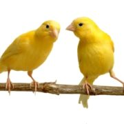 Bright yellow canaries