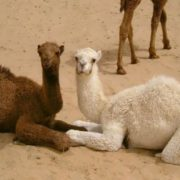 Brown and white camels