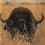 Buffalo – Water-Loving Beast