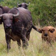 Buffalo and a calf