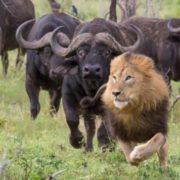 Buffalo pursue a lion