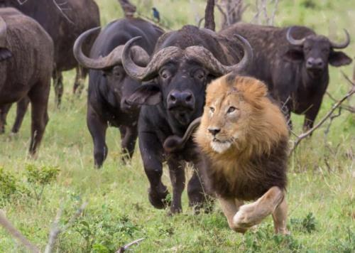 Buffalo pursue a lion