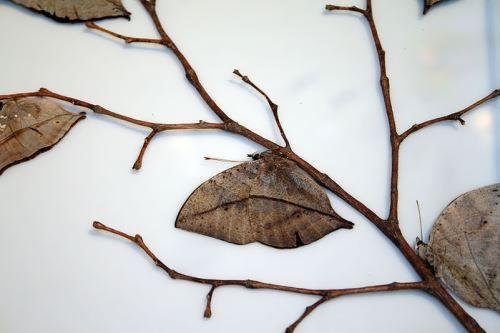 Butterfly Kallima