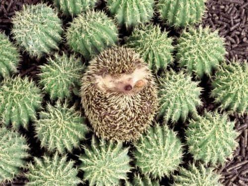 Cacti and hedgehog