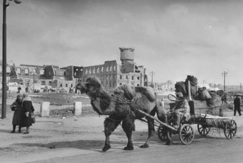 Camel on the streets of Stalingrad