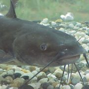 Charming catfish
