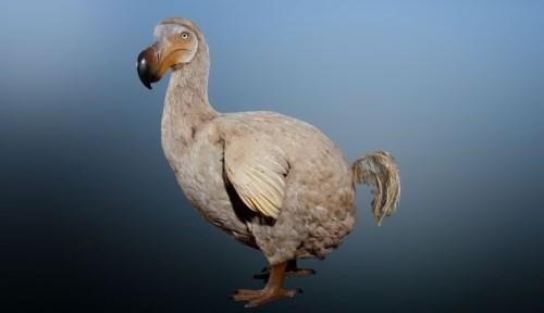 Charming dodo