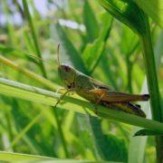 Charming grasshopper