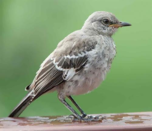 Charming mockingbird