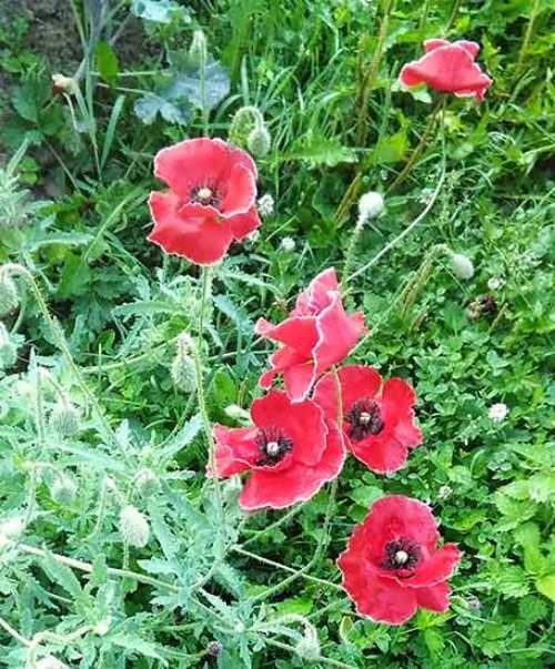 Charming poppies