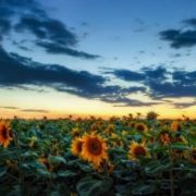 Charming sunflowers