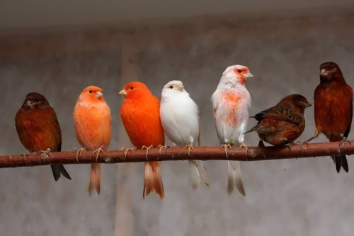Colorful canaries