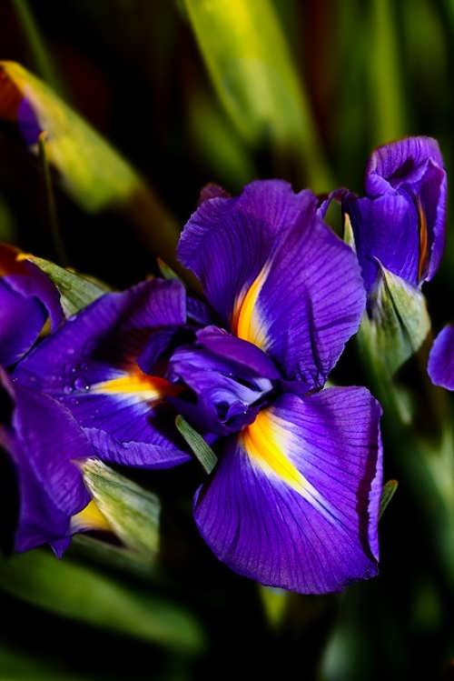 Colorful iris