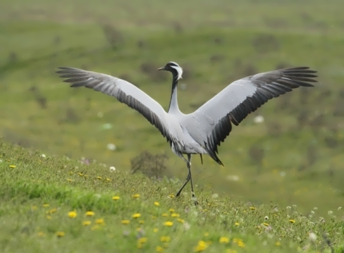 Crane - beautiful wading bird