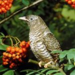 Interesting facts about Cuckoos