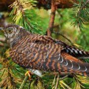 Cute cuckoo