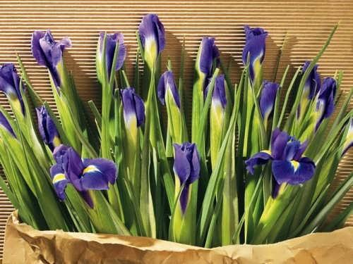 Cute irises